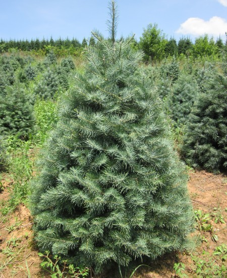 Concolor Fir - Dug- Mattern's Pine Ridge Nursery | Tree Farm