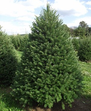 douglas fir cut mattern 39 s pine ridge nursery tree farm. Black Bedroom Furniture Sets. Home Design Ideas