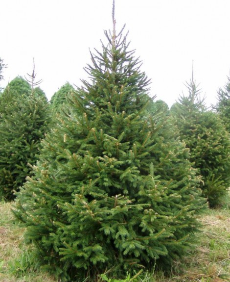 Norway-Spruce