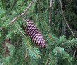 Norway Spruce Branch