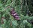 Norway Spruce Branch