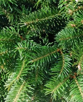 Premium Evergreen Tips