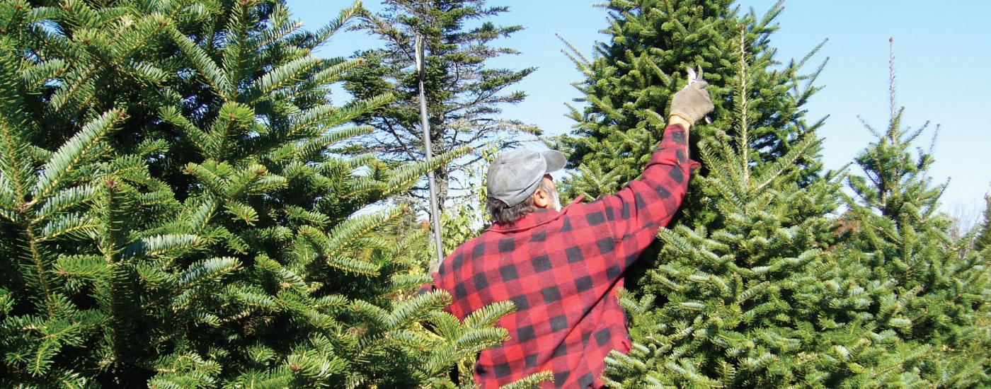 lafayette-christmas-trees