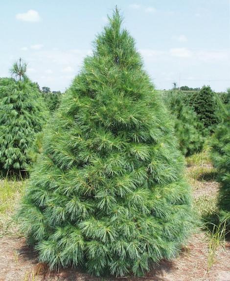 pine trees nursery